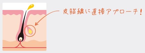ライスパワーNO.6エキスの皮脂腺を指し示す図解