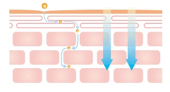 ベルブランの油溶性甘草エキスが角質間に浸透するイメージ図