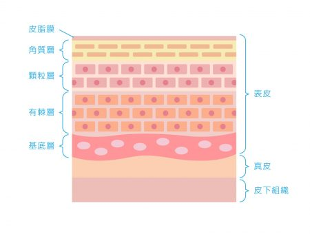 皮膚層の細胞 イラスト図解